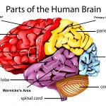 brain-pic.png